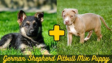 German shepherd pitbull mix puppy