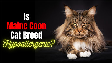 Is Maine Coon Cat Breed Hypoallergenic?