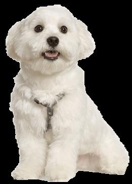 Maltese Dog Breed