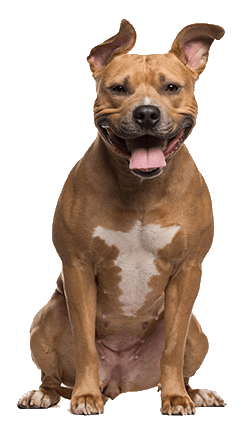 AMERICAN STAFFORDSHIRE TERRIERS DOG BREED