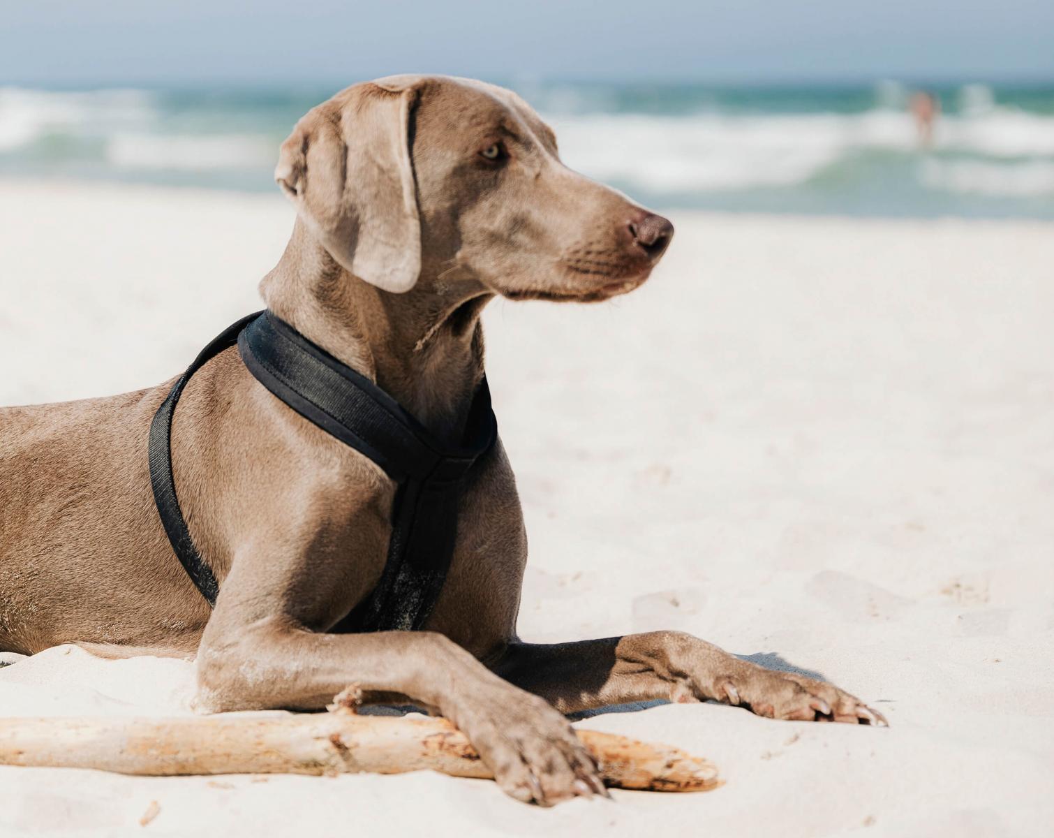 dog harness on beach