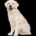 Retrievers (Labrador)